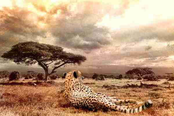 cheetah - Writers: how to put evolution and culture to good use
